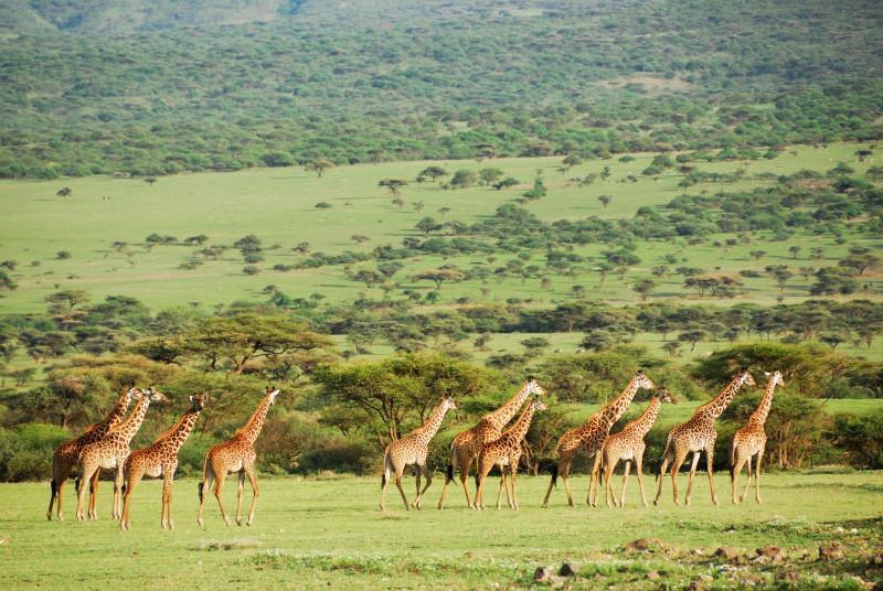 Mkomazi National park giraffe