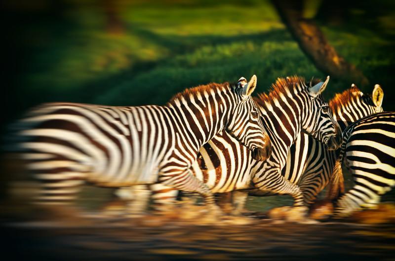 Tarangire National Park zebra