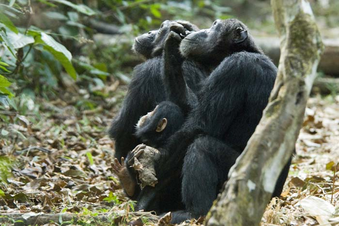 chimp trekking tanzania