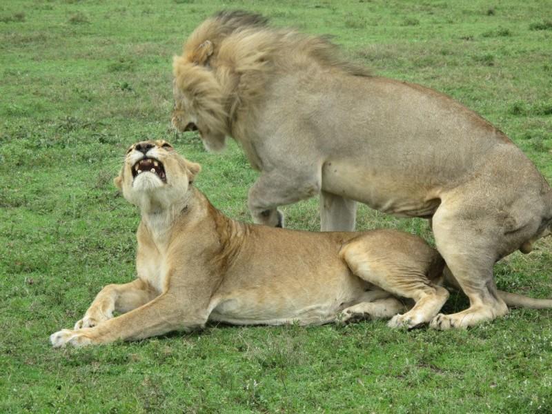 serengeti national park lions