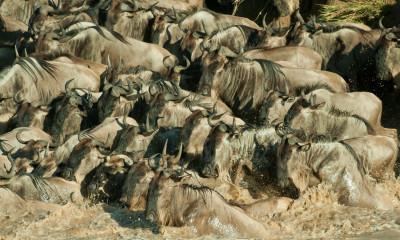 Great Migration In Masai Mara