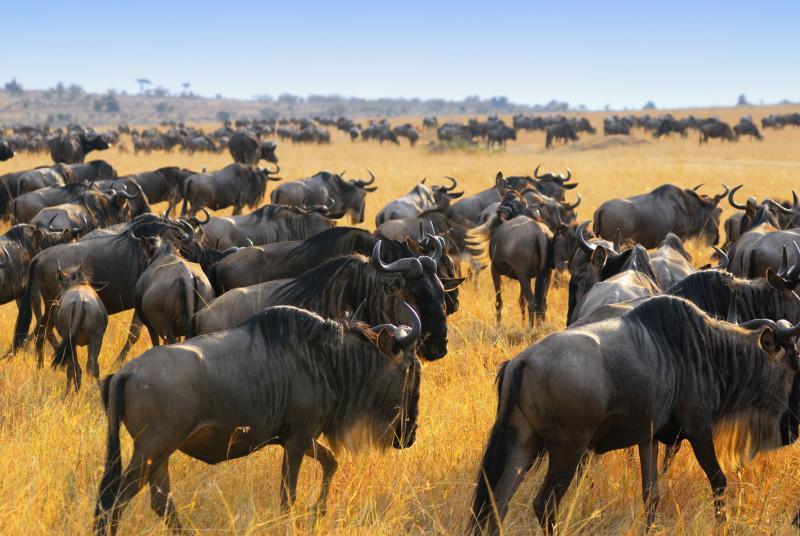great wild beast migration safari tour masai mara