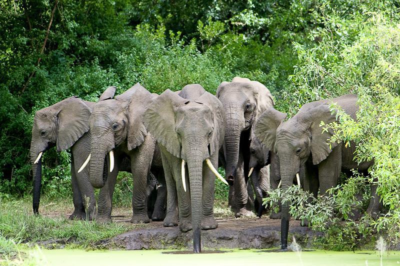 Lake Manyara boasts Africa's highest concentration of elephants.