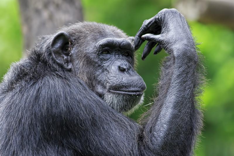 Rwanda_Chimpanzee