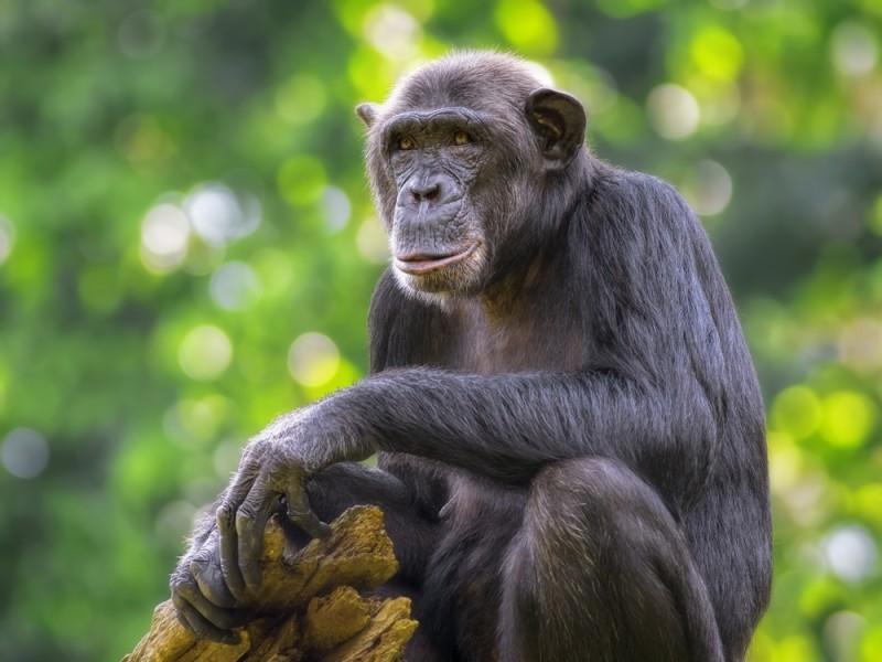 Chimpanzee Sitting Rwanda