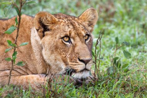 Lion_Nakuru_small