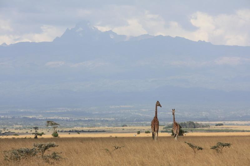 Aberdare National Park, two giraffes