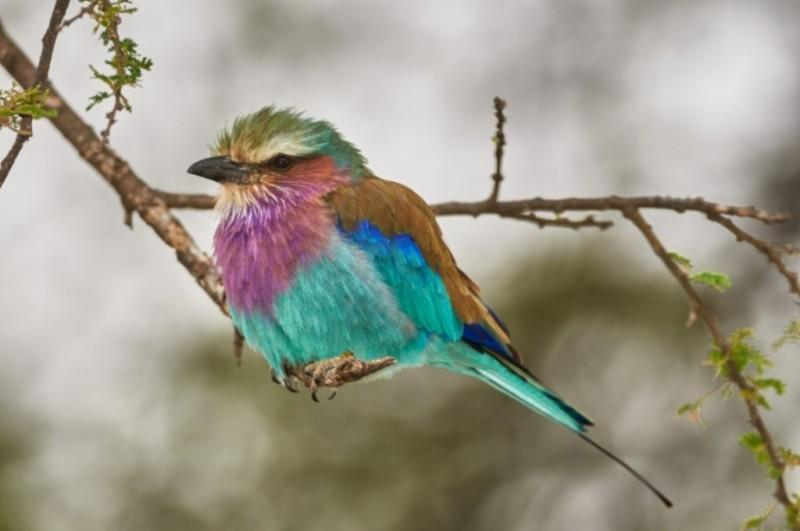 Lilac breasted roller small