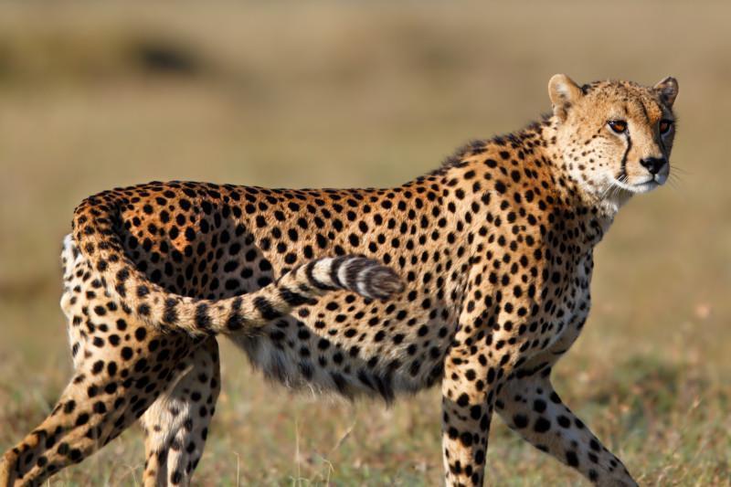 Ol_Pejeta_Cheetah