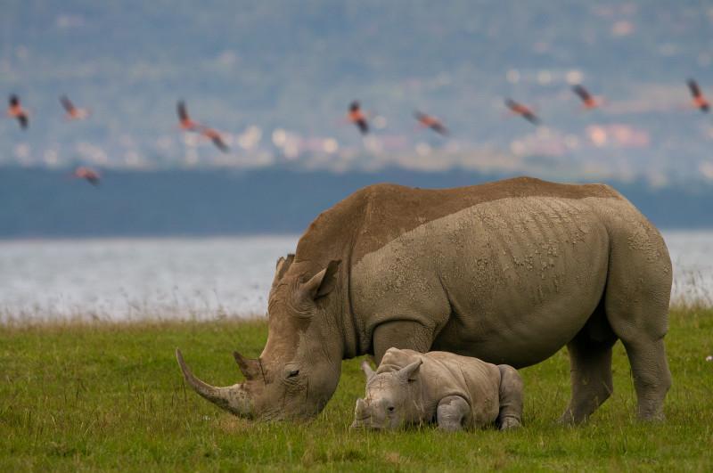 Rhinos_Nakuru_background