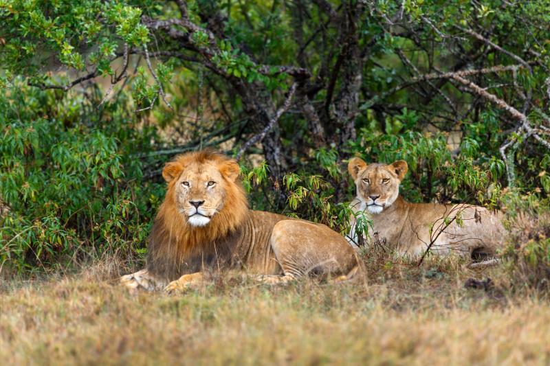 lions in Ol Pejeta Conservancy