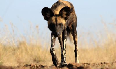 African Wild Dogs on the Serengeti