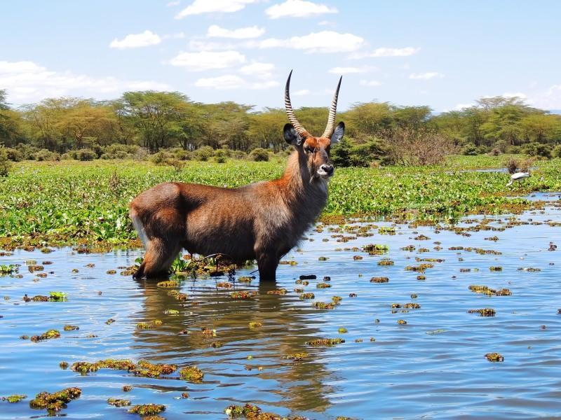 waterbuck in lake naivasha