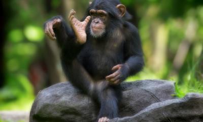 Chimpanzee Trekking: What You Need to Know