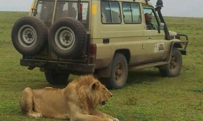 Big Cats & Rhinos in Ngorongoro