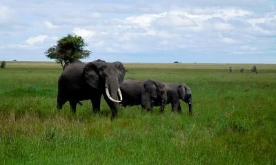 elephants long grass