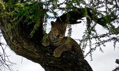 leopard in acacia tree