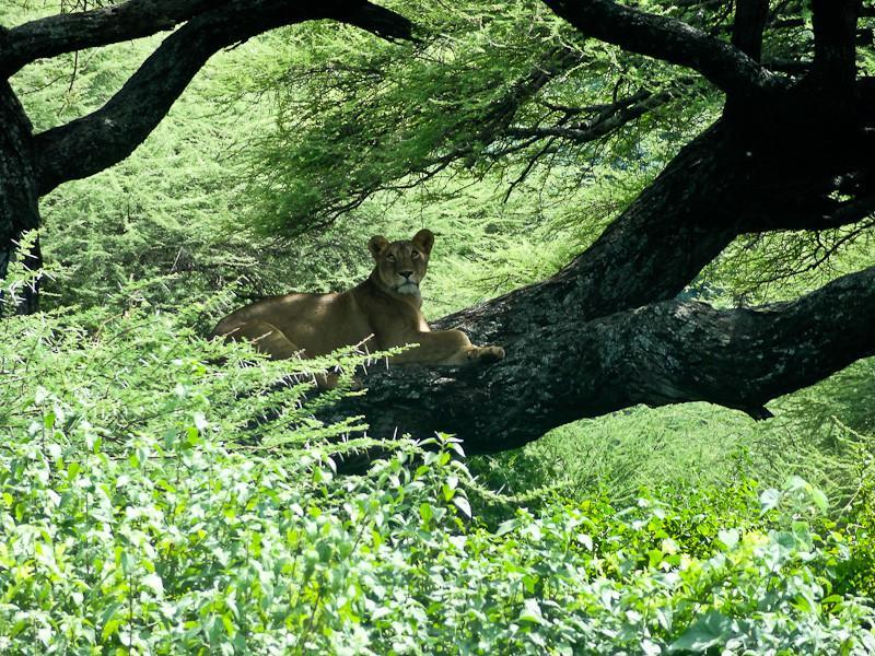 lake manyara tree climbing lion