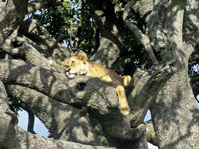 tree climbing lion serengeti