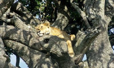 Tree-Climbing Lions of Lake Manyara