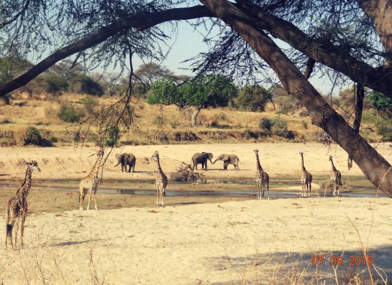giraffes elephants waterhold