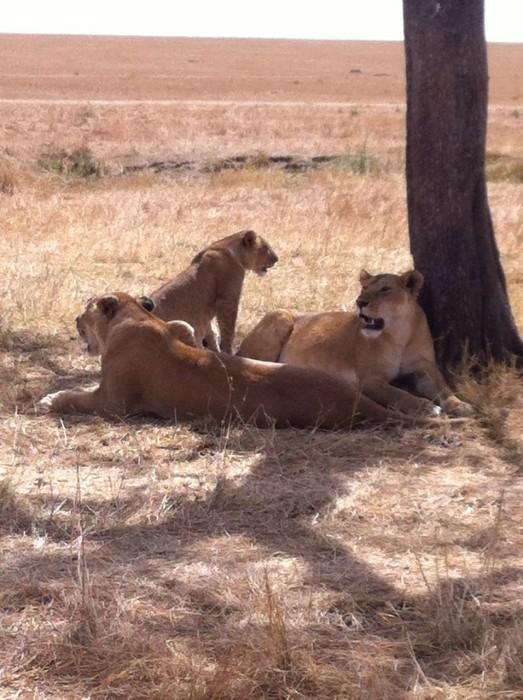 Tarangire lions
