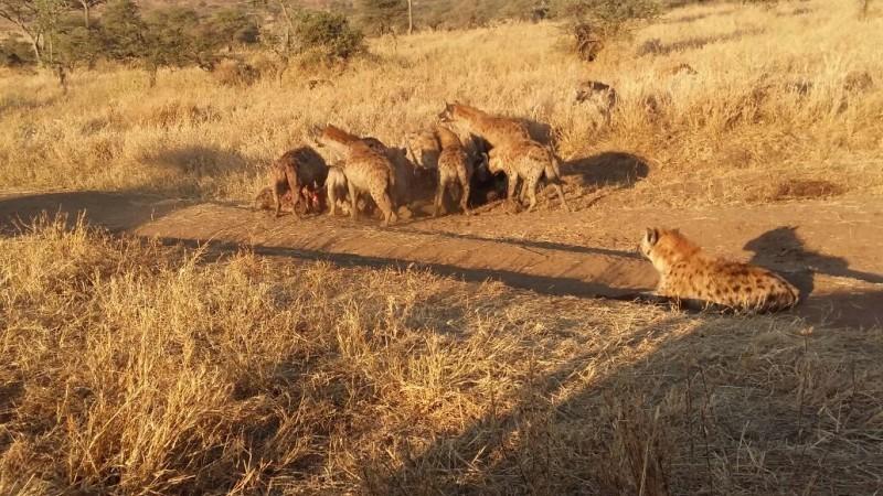 Hyena Tanzania