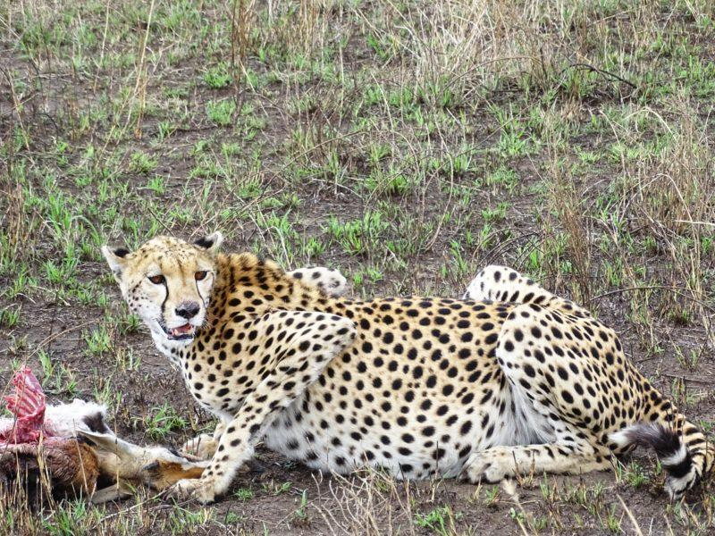 Cheetah after hunting a gazelle in Central Serengeti