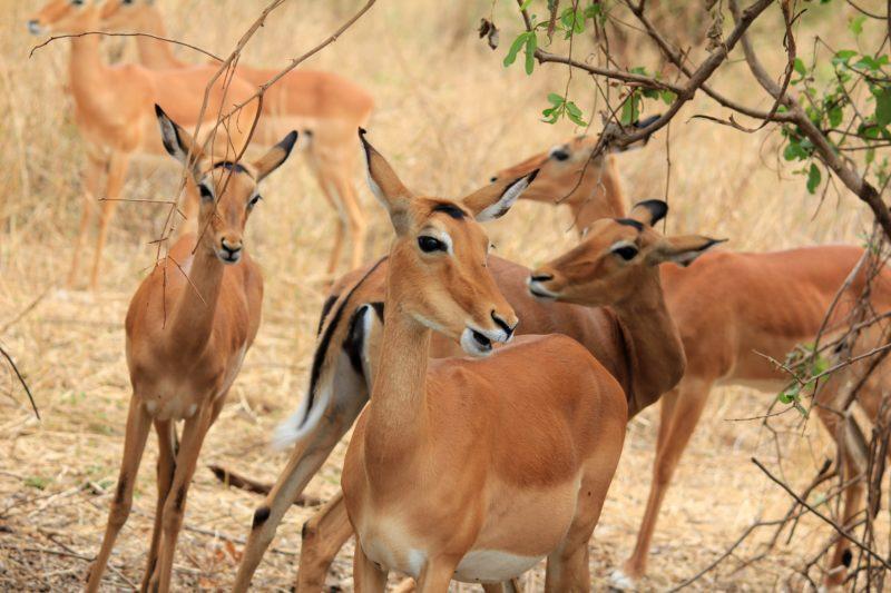 female gazelle tarangire