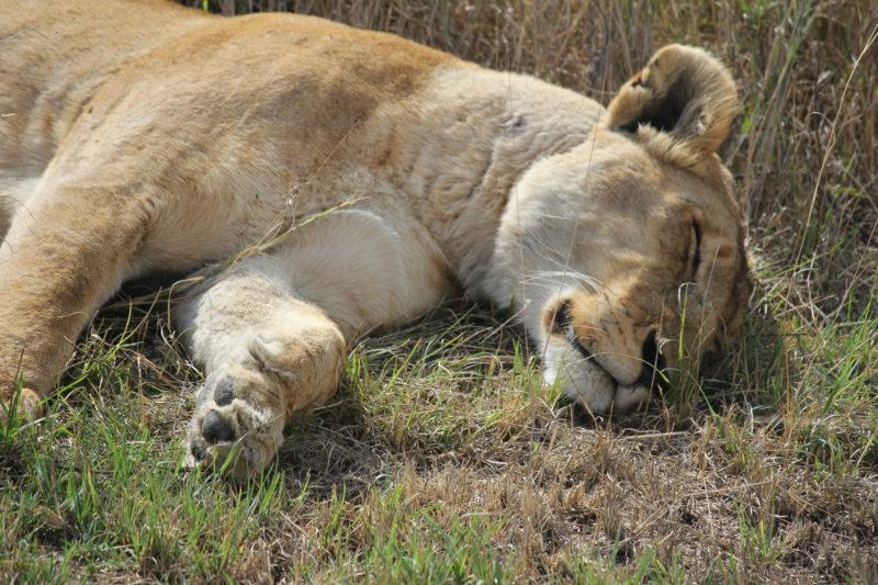Lion sleeping in the Serengeti