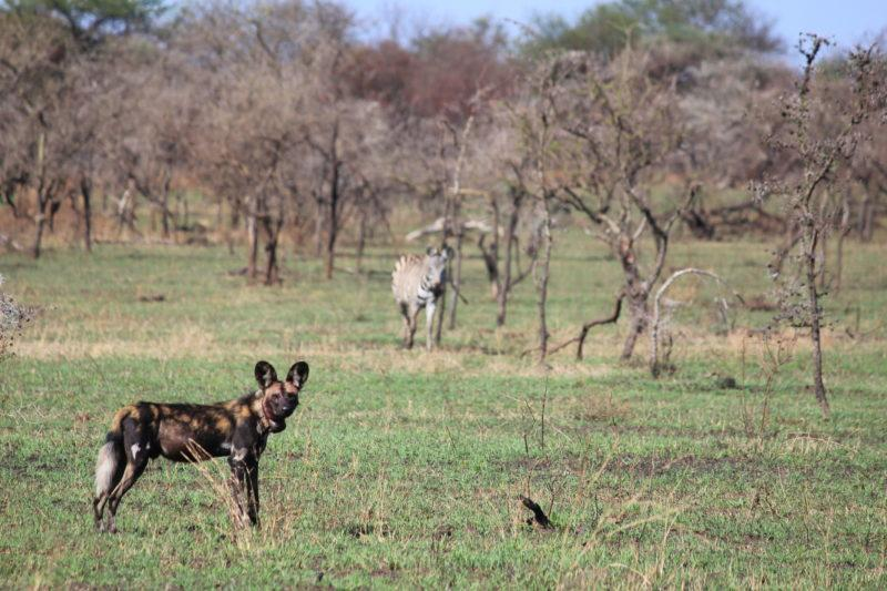 Hunting Dog, Serengeti