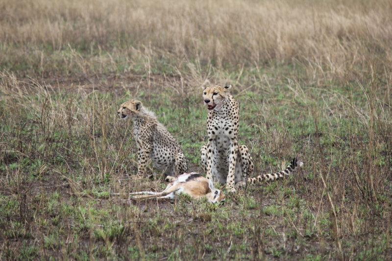 Cheetah and cub after hunt