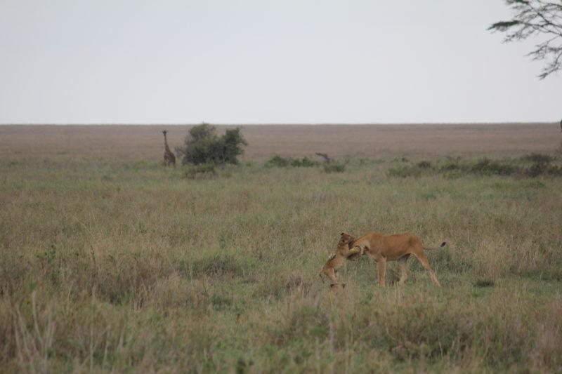 Lion with cubs, Serengeti