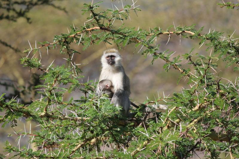 Monkeys Ngorongoro