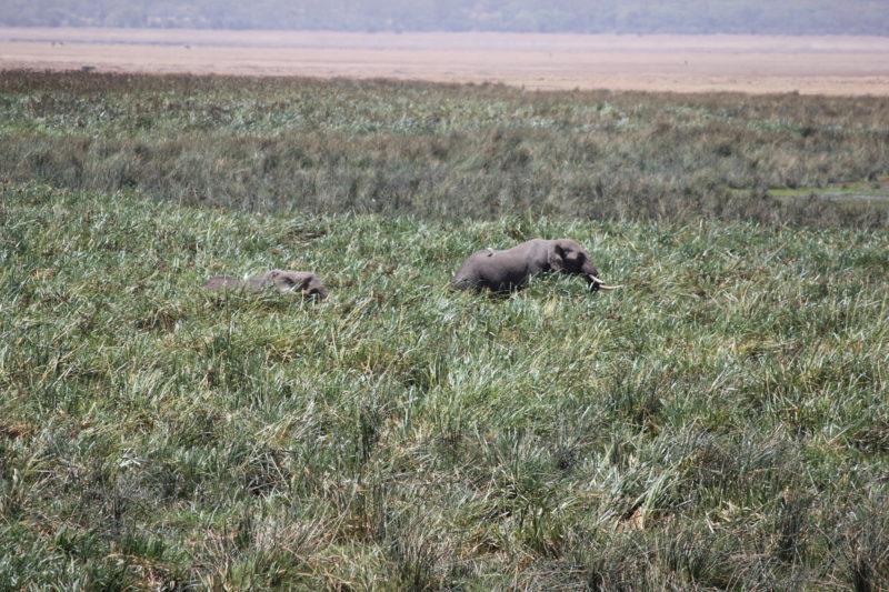 Elephants Ngorongoro