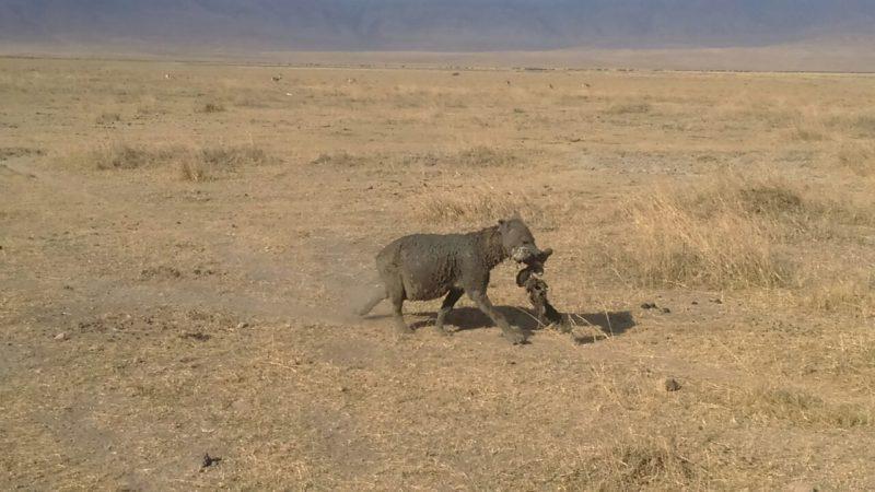 Hyena feeding on wildbeest carcass