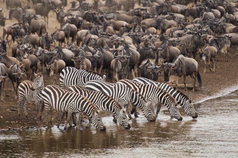 миграция сафари африка