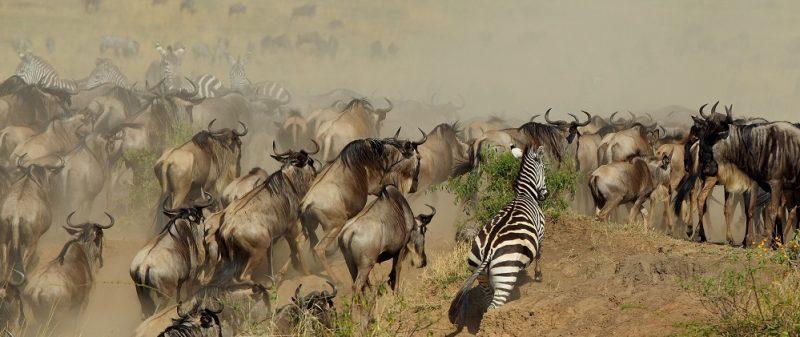 миграция сафари танзания
