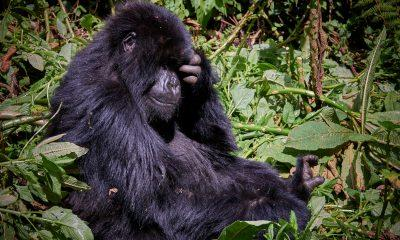 Gorillas, Golden Monkeys & Big 5