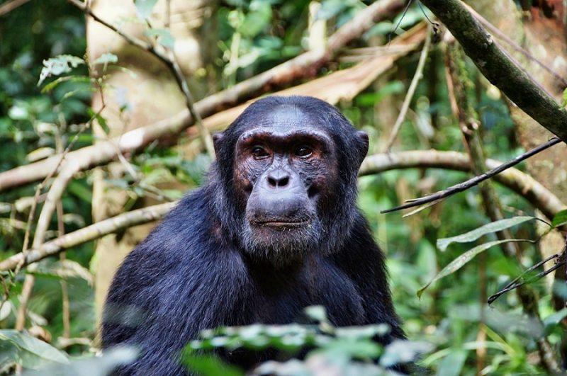 Chimps_Kibale