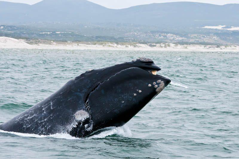 whale watching cape town