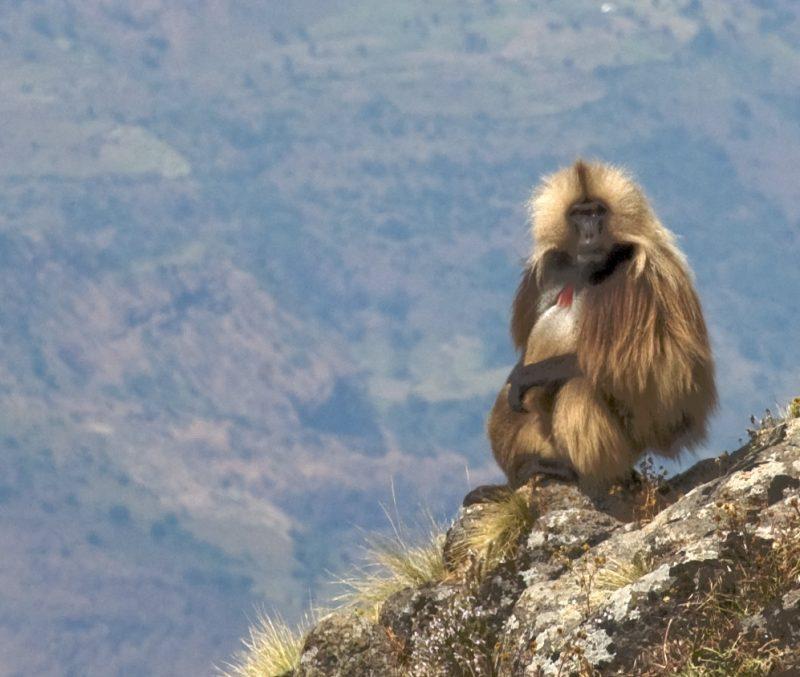 gelada baboon ethiopia wildlife
