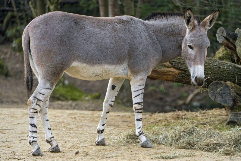 somali wild ass ethiopia wildlife