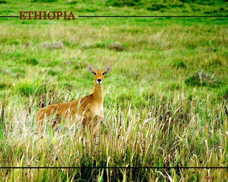 menelik bushbuck ethiopian wildlife