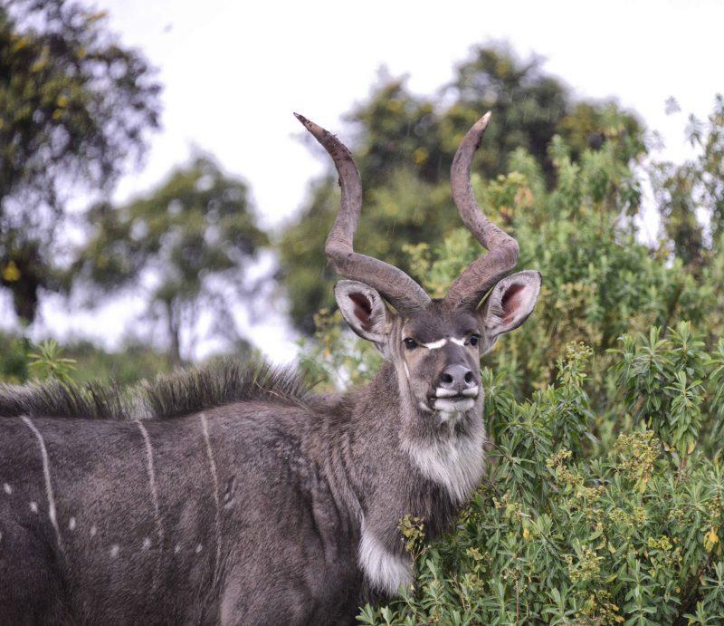 mountain nyala ethiopian wildlife