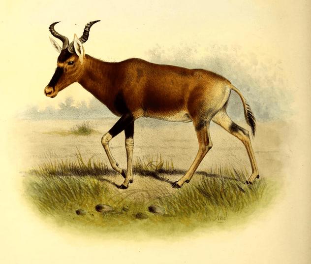 hartebeest ethiopia wildlife