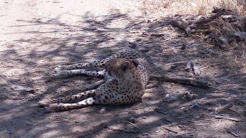 leopards in Tanzania safari
