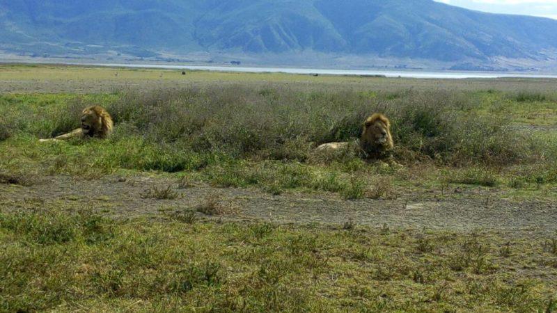 ngorongoro tanzania lions