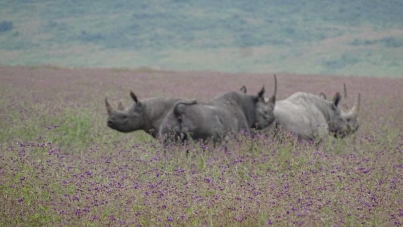 rhinos black tanzania safari