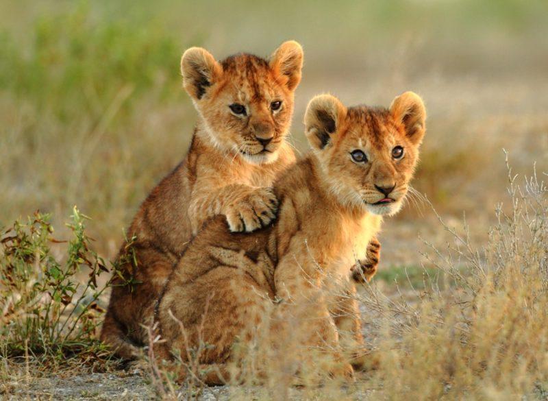 lions tanzania babies